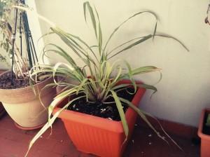 La citronella può essere coltivata in giardini, terrazzi e balconi. Questa picciridda è sul mio balcone